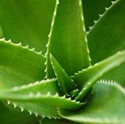 Die natürlichen Wirkstoffe der Aloe Vera