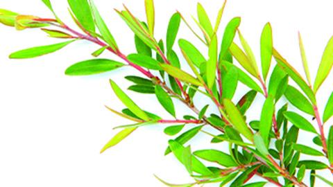Teebaumöl Zweige