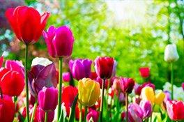 Frühlingsblumen - Tulpen auf einer Wiese