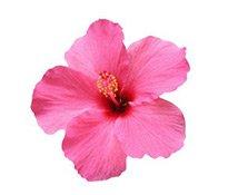 Der Duft des Hibiskus-Blüte macht das Parfüm so angenehm frisch