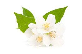 Jasmin Blüten